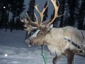 lapland-reindeer
